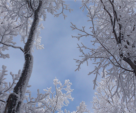 worm's eye view of trees in the winter after snowfall